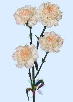 carnation - Carnation Flower Colors