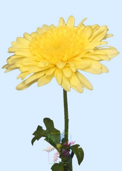 Chrysanthemum flower information chrysanthemum cut flower flower yellow chrysanthemum mightylinksfo