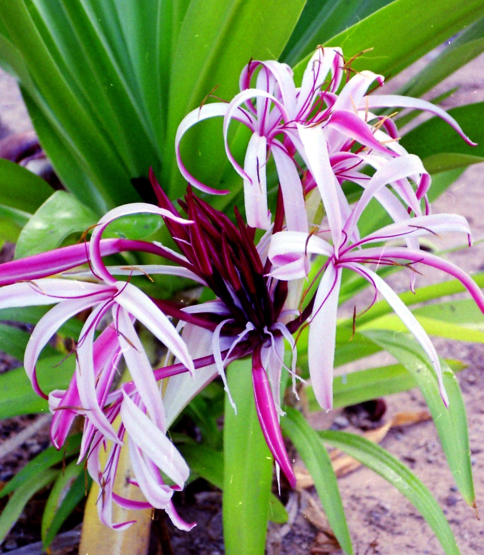 Looks Like A Purple Crinum Lily
