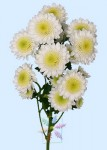 Cushion Chrysanthemum