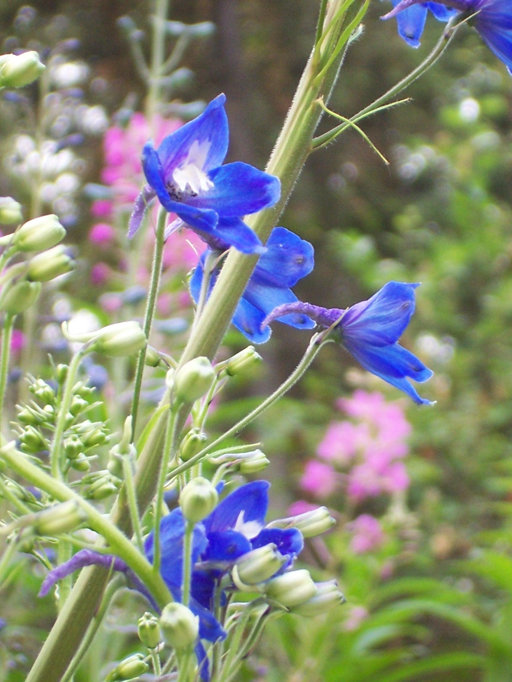Delphinium Flowers Buds