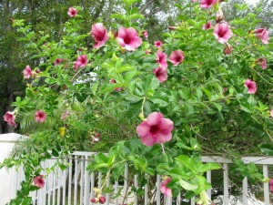 Photo of a pink blooming vine called Mandevilla.