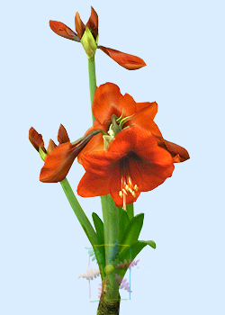 Orange Amaryllis
