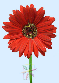 Gerbera A Flower For All Seasons