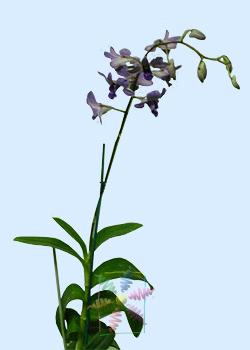 Dendrobium Orchid Flower Information Dendrobium Orchid