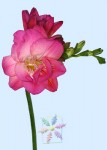 Pink Freesia