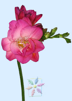 Freesia flower information freesia cut flower flower shop network flower pictures of freesias mightylinksfo