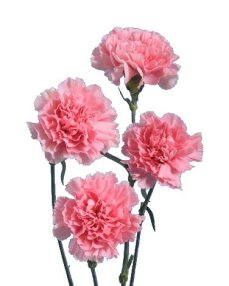 Carnation Flower Information Cut