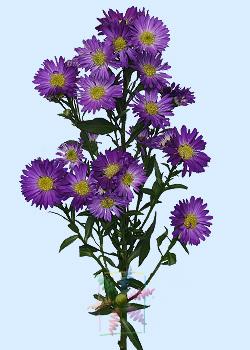 Aster Flower Information Aster Cut Flower Flower Shop Network