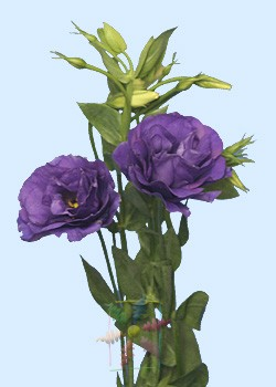 Lisianthus Flower Information Lisianthus Cut Flower Flower Shop