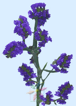 Statice flower information statice cut flower flower shop network purple statice mightylinksfo