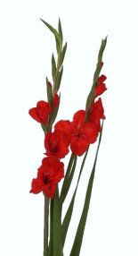 Gladiolus Flower Information Gladiolus Cut Flower