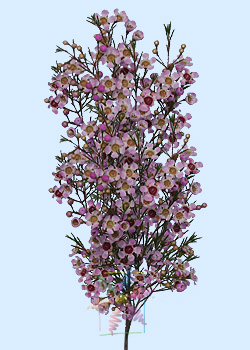 Waxflower Flower Information Waxflower Cut Flower