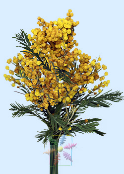 Acacia Flower Information Acacia Cut Flower Flower Shop Network