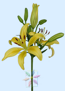2fbbc5483 Lily Flower Information | Lily Cut Flower | Flower Shop Network