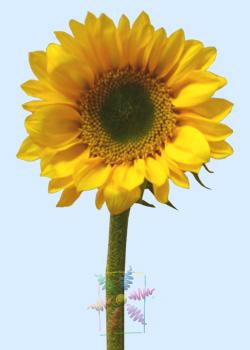 Sunflower flower information sunflower cut flower flower shop yellow sunflower mightylinksfo