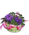 African Violet (Saintpaulia ionantha)