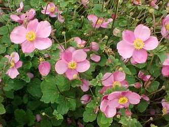 Pink flower with yellow center could be an anemone anemone hupehensis mightylinksfo