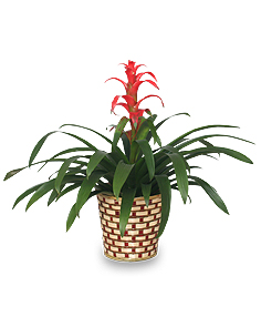 Bromeliad House Plant - Safe for children and pets
