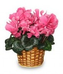 Cyclamen - heart shaped