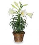 Easter Lilies (Lilium longiflorum)