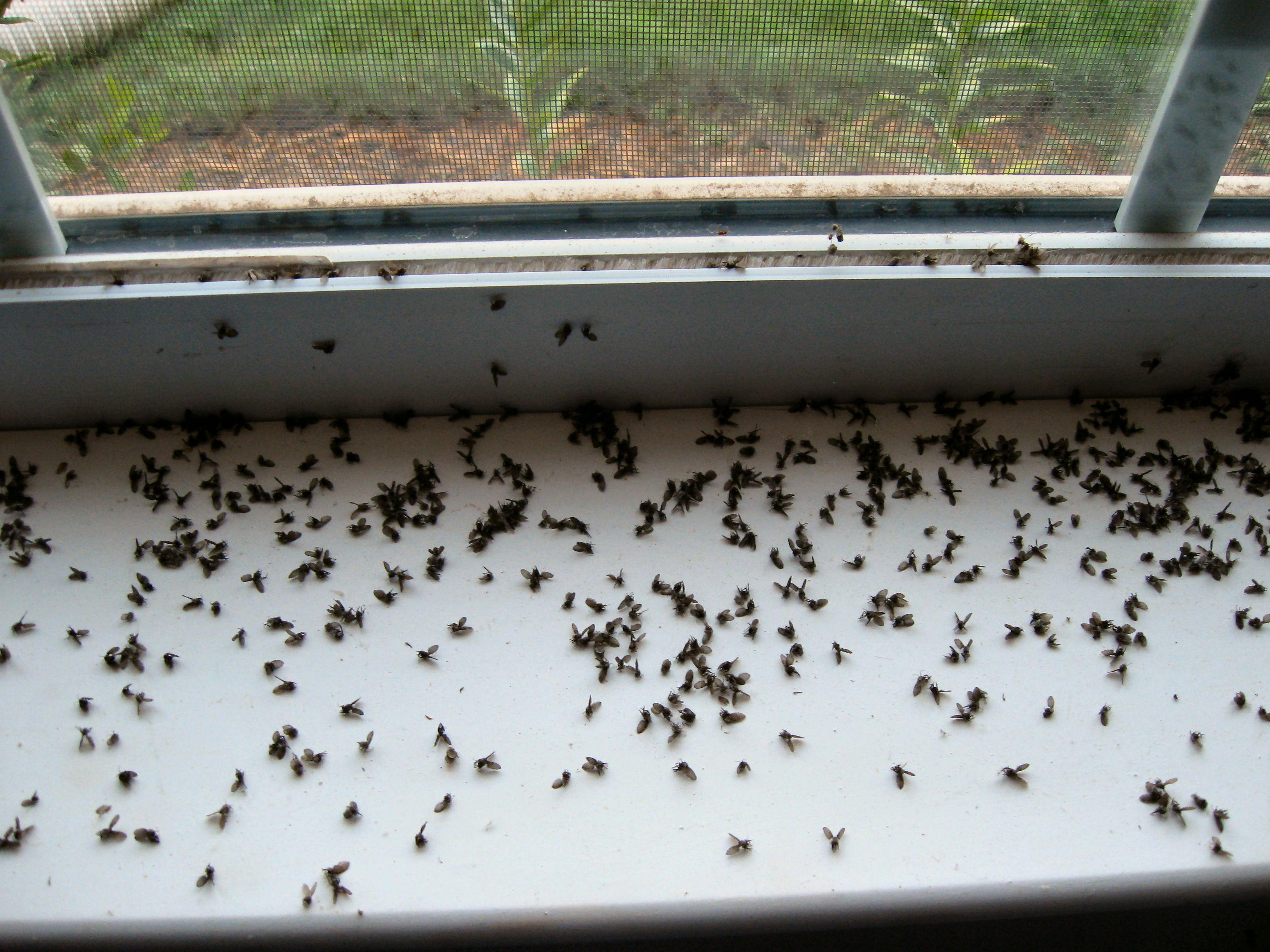 Finding Dead Flies In House http://www.flowershopnetwork.com/blog/identify-these-dead-pests/