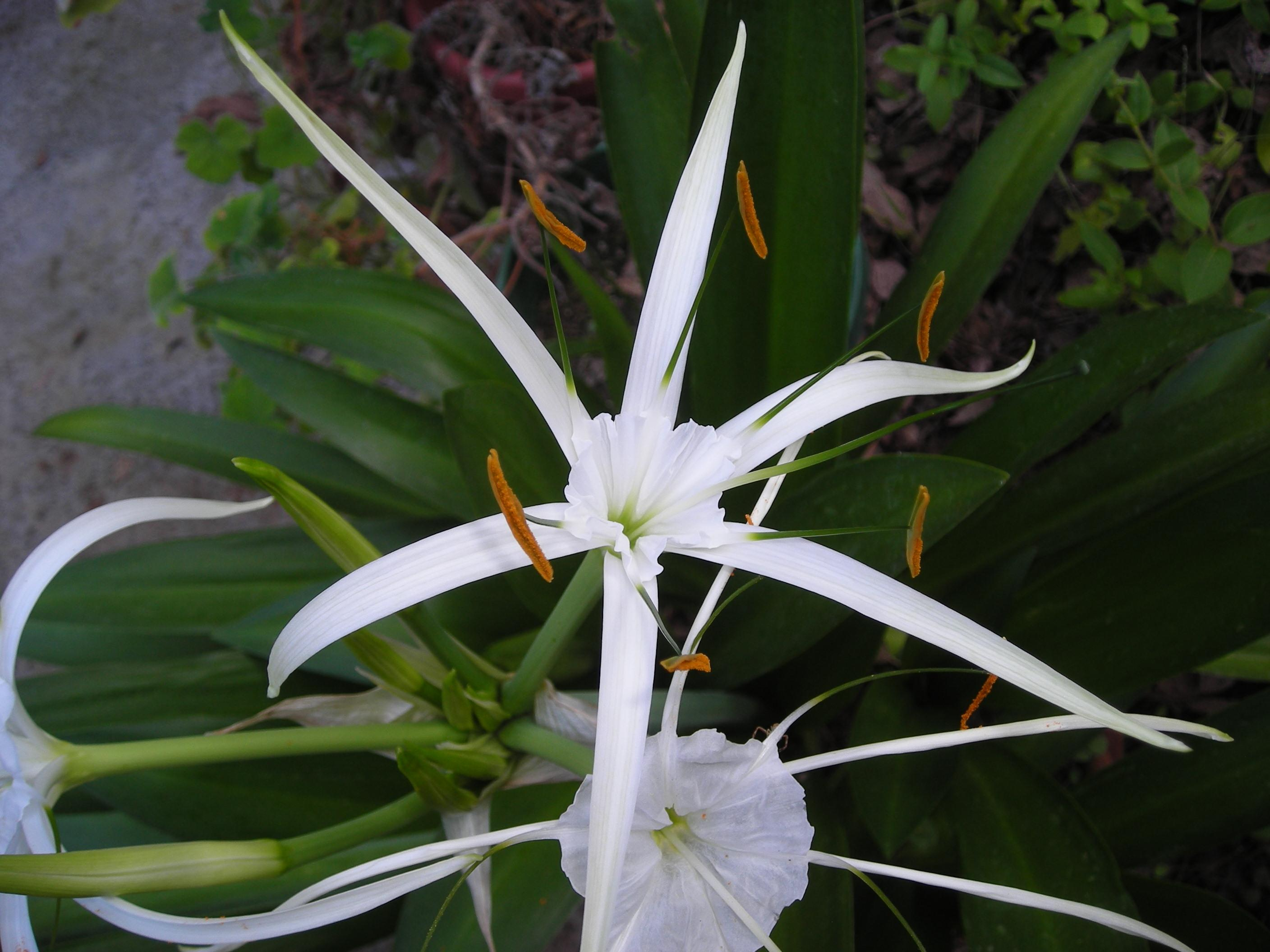 White night bloomer is hymenocallis harrisiana mightylinksfo
