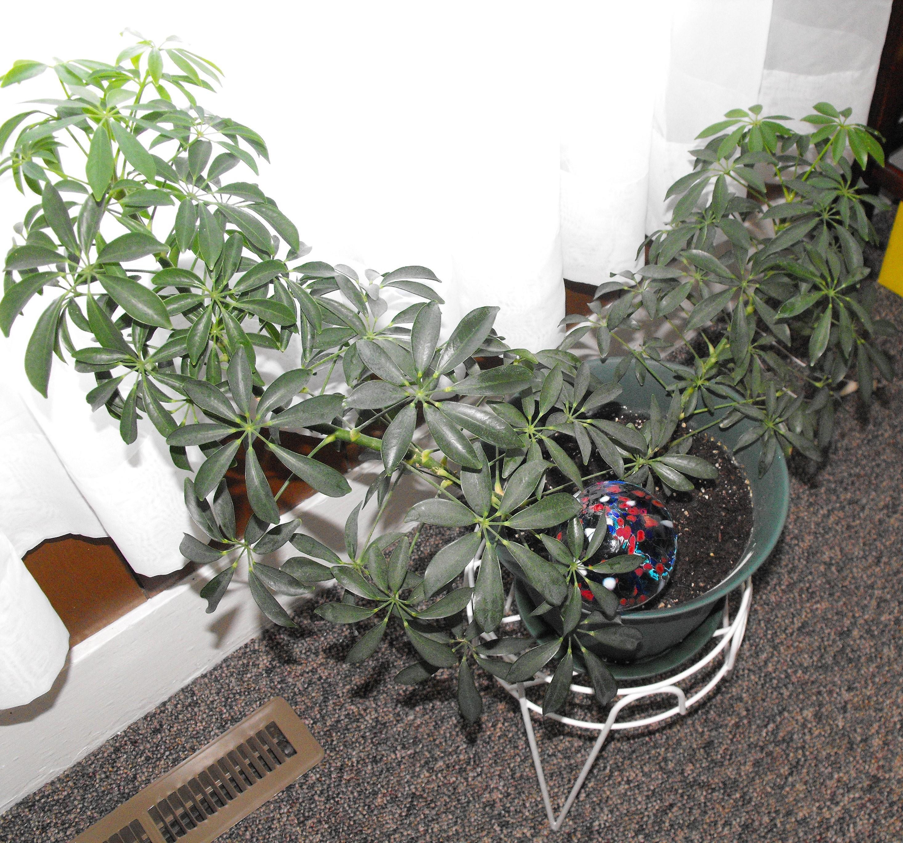 Umbrella Plant, Octopus Plant, Schefflera Are One In The Same Octopus Plant