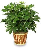 Schefflera (Brassia arboricola)