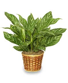 Green Chinese Evergreen Houseplant