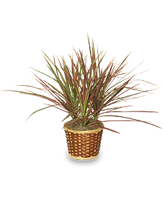 Red Striped Dracaena (Dracaena Marginata)