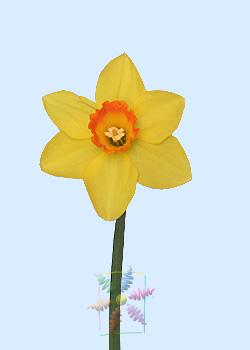 Daffodil Flower Information Daffodil Cut Flower Flower Shop Network
