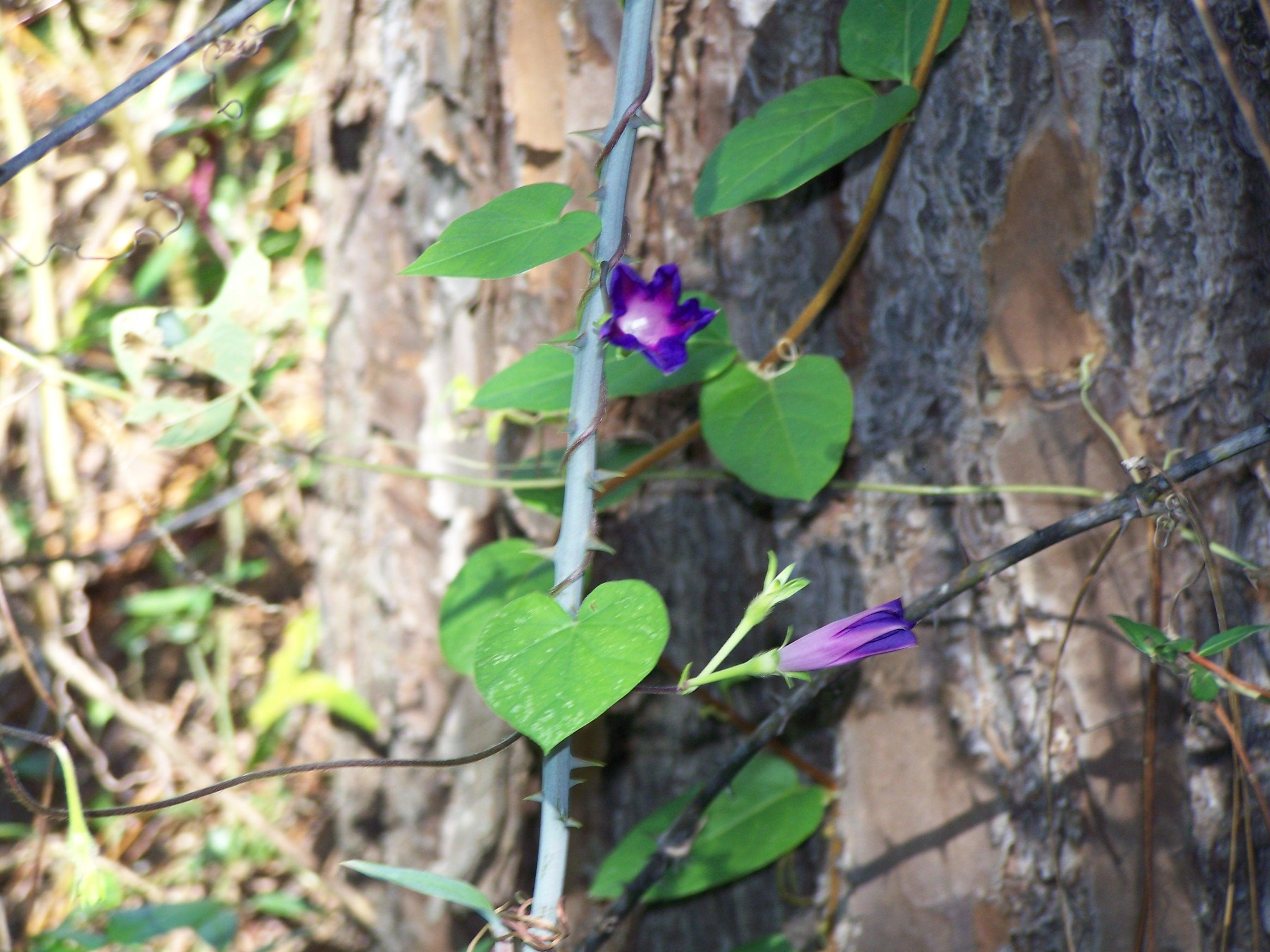 Vine with purple flower a morning glory morning glory vine mightylinksfo