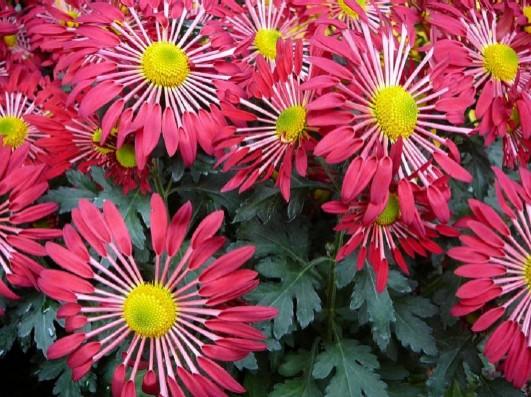 Hot Pink Chrysanthemums