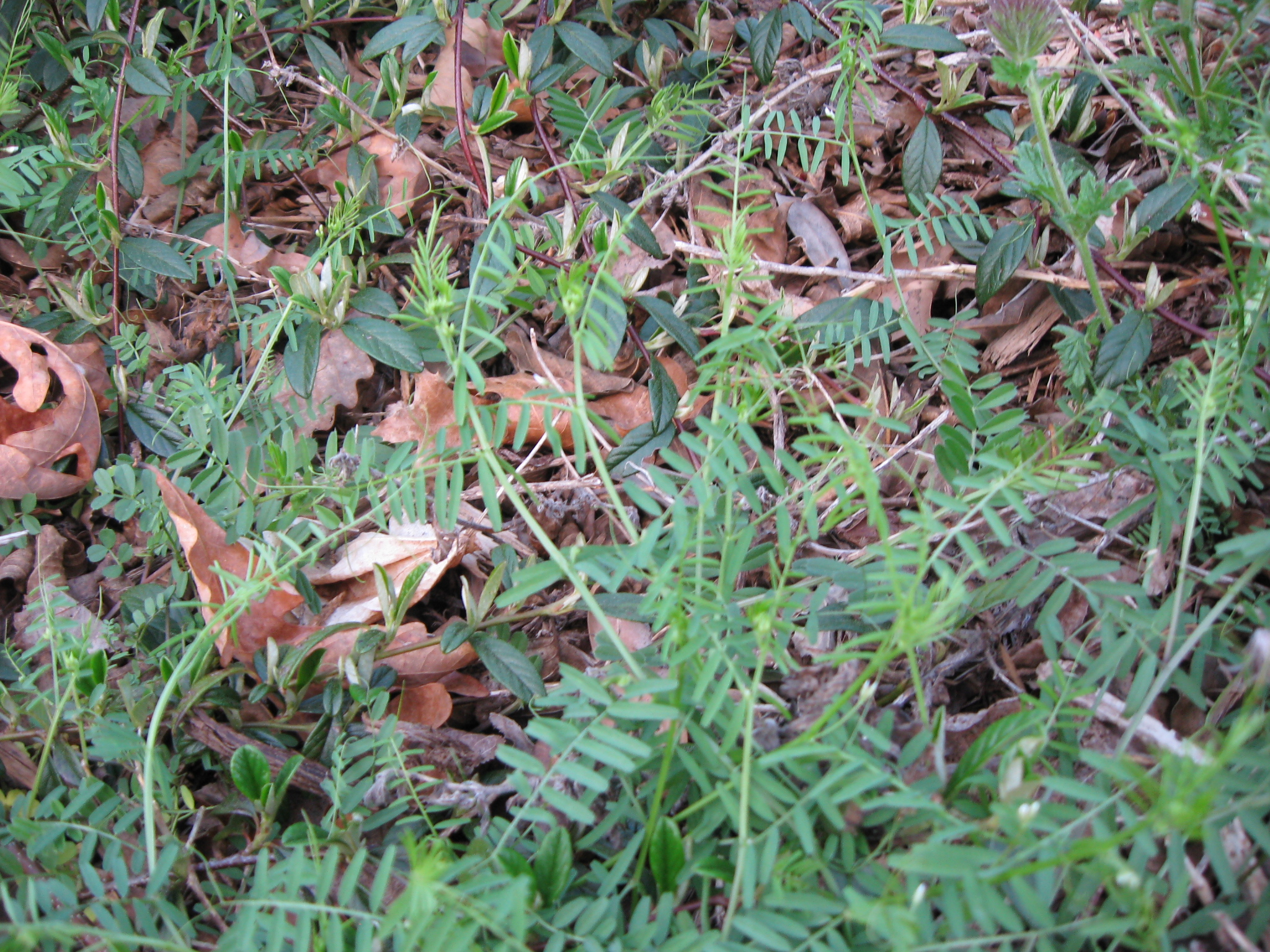 Weeds in flower beds identify - Weeds In Flower Beds Identify 48