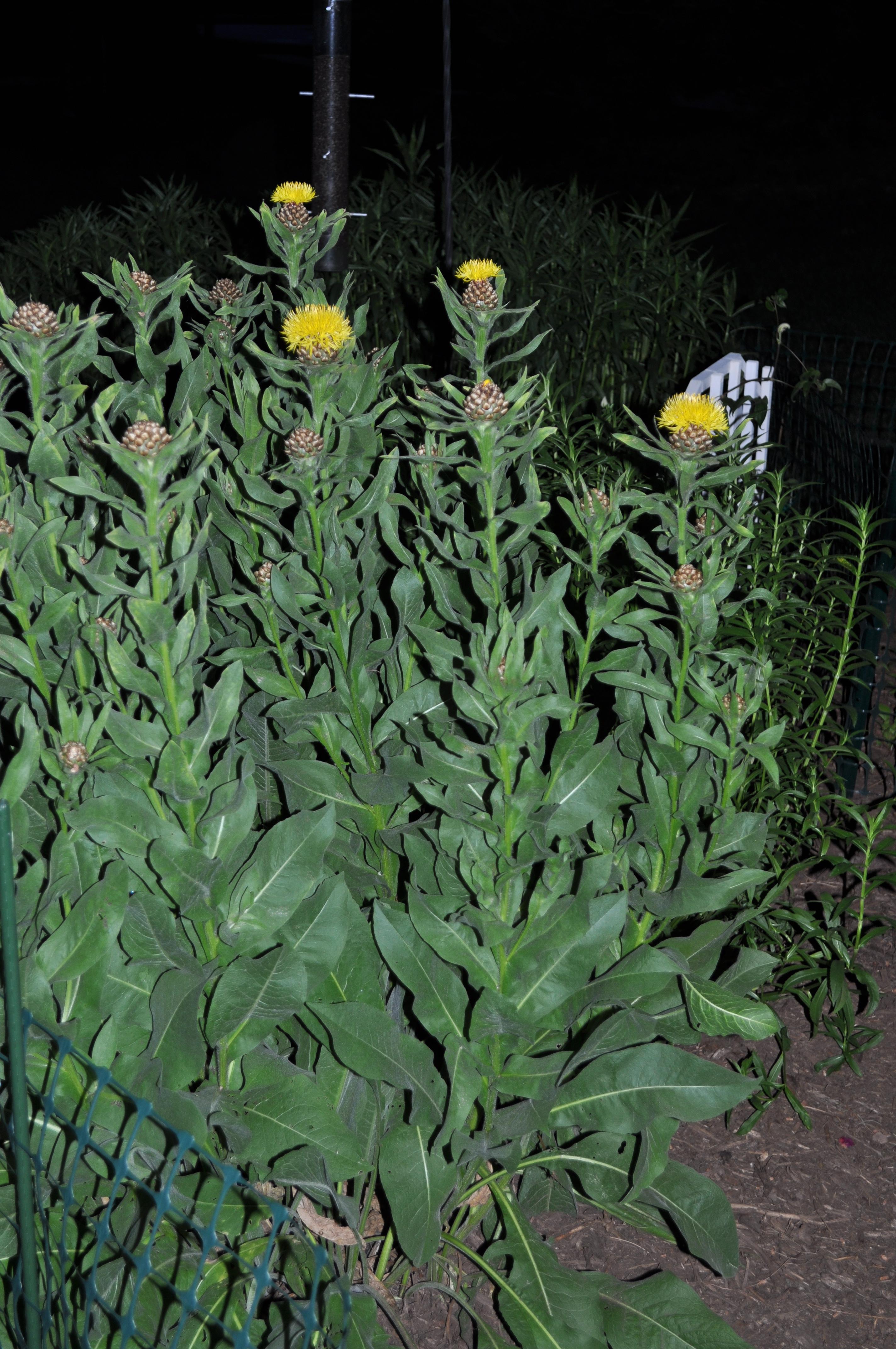 Centaurea Macrocephala Plant