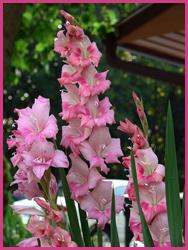 june-gladiolus