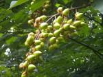 Paulownia tomentosa seed pod