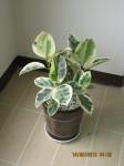 A potted Ficus elastica 'Variegata'