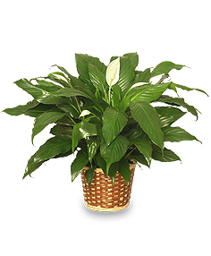 Green Houseplant Peace lily