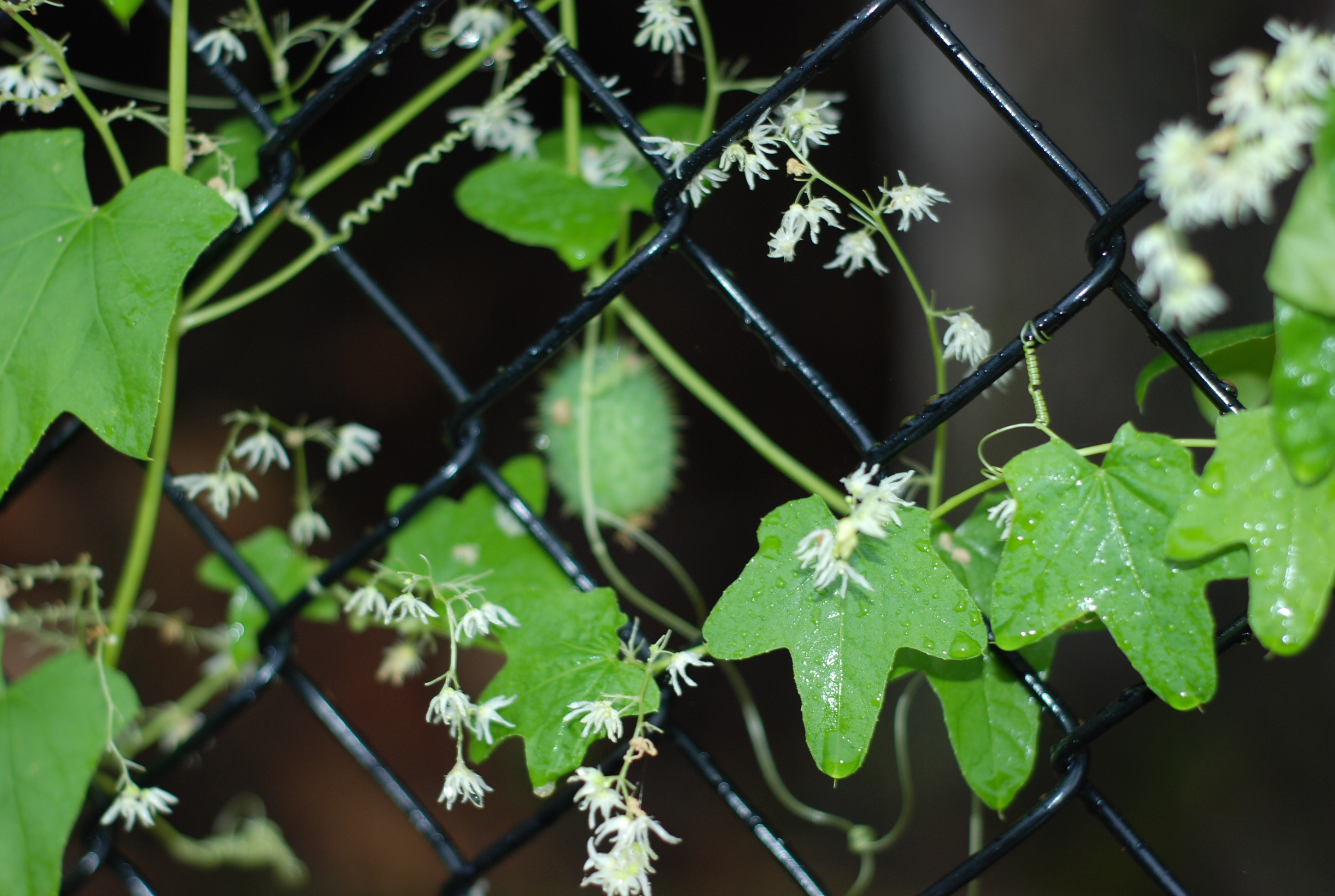 California Vine With Small White Flowers