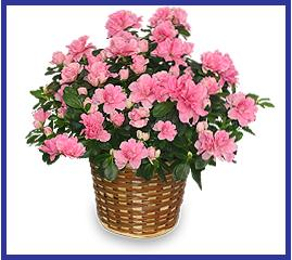 Pink Azalea in Basket For Indoors