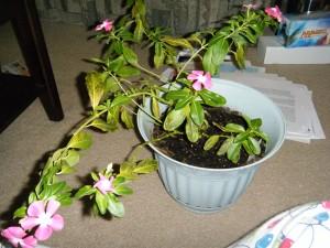 Catharanthus Roseus Vinca
