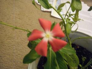 Catharanthus Roseus Vinca Flower