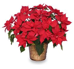 Christmas Poinsettia Care