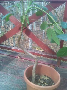Dwarf Umbrella Tree - Schefflera arboricola