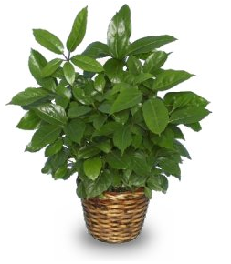 green schefflera house plant - Identifying Common House Plants