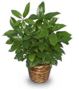 Green Schefflera House Plant
