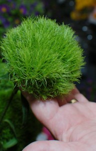 'Barbatus Green Ball' Dianthus