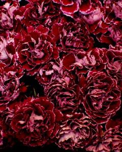 Modern Carnations